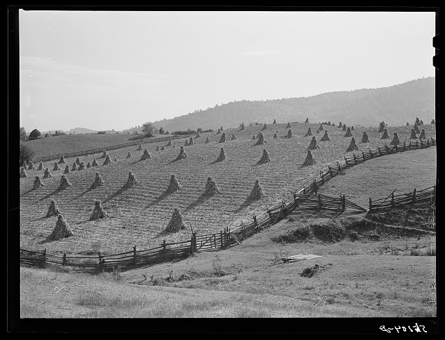 Cornshocks and fences on farm near Marion, Virginia