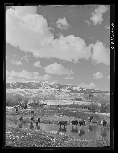 Madison County, Montana. Winter feeding on cattle ranch
