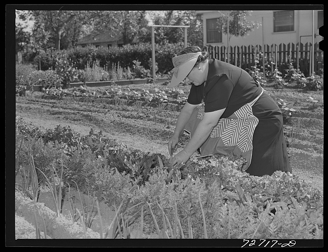 Turlock, California. Housewife works in her vegetable garden. She lives in small town where there is ample space for gardens; says she would move to country if she couldn't have a garden in town