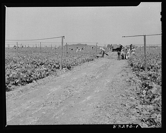 Bridgeton, New Jersey. Seabrook Farm. Old overhead irrigation which is being abandoned for cheaper methods