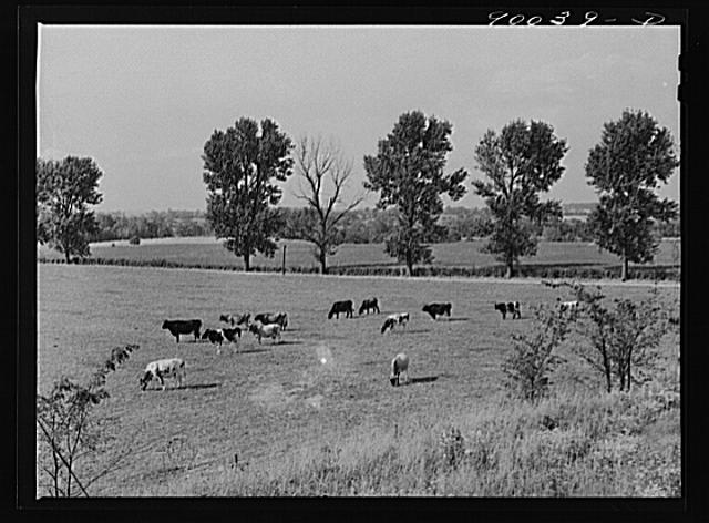 Dairy cows in pasture on farm near Dayton, Ohio