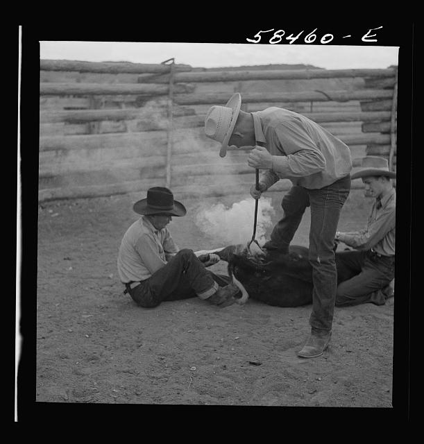 Dudes helping brand a dogie (Hereford calf) in the corral at Quarter Circle U, Brewster-Arnold Ranch Company. Birney, Montana