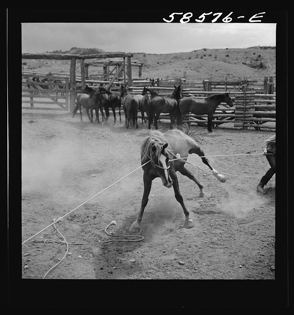 Catching, roping and tying horses in the corral to remove their shoes at the end of the summer season before turning the horses out on the range for the winter. Quarter Circle U, Brewster-Arnold Ranch Company. Birney, Montana