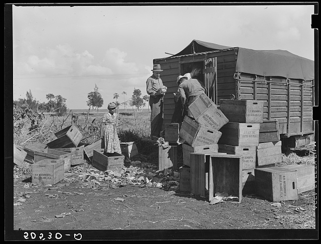Trucker loading cabbages beside road near Belle Glade, Florida