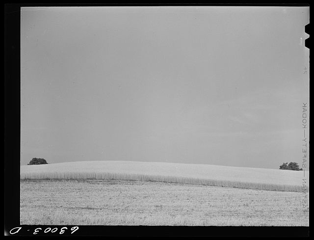 Wheat. Daviess County, Indiana