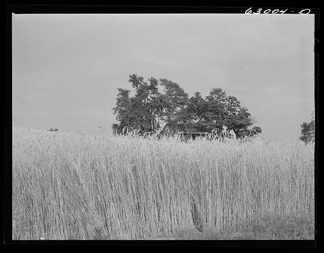 Wheat farm. Daviess County, Indiana
