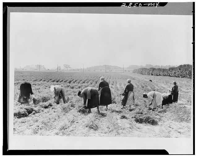 Women picking carrots, Camden County, New Jersey