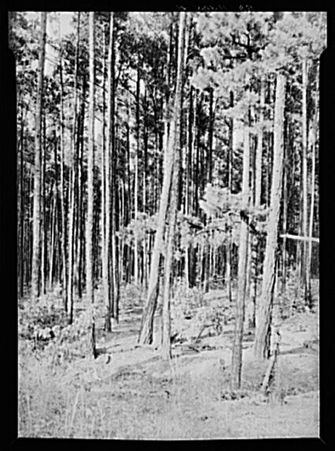 Good stand of shortleaf pine (fifteen to twenty years). Best use for this type of land. Near Farmville, Virginia