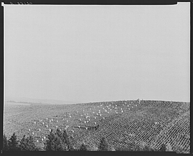 Potato field near Van Buren, Maine
