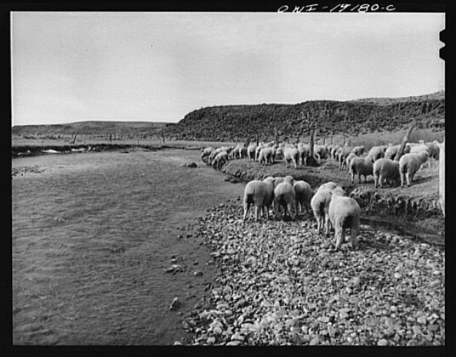 Los Cordovas, west of Taos, Taos County, New Mexico. Sheep which belong to Blas Chavez, a Spanish-American rancher