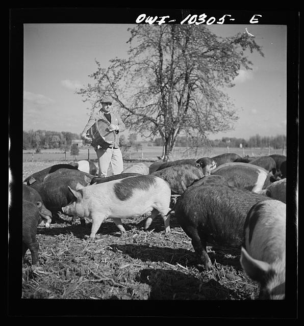 Montgomery County, Maryland. Farmer feeding the pigs