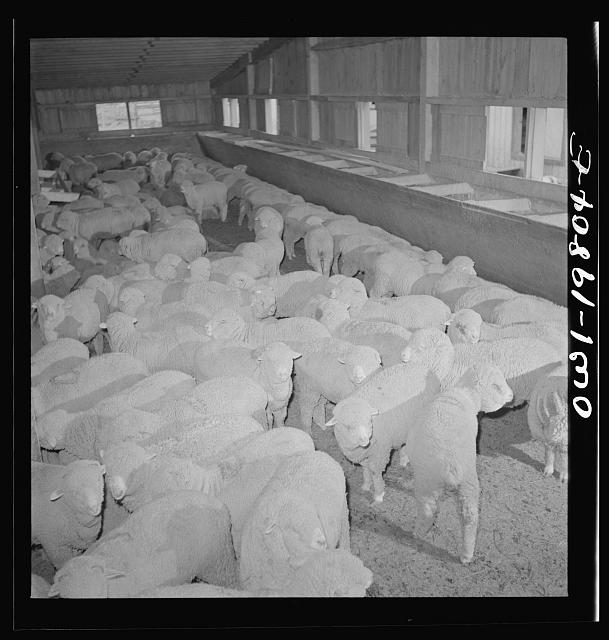 Emporia, Kansas. Sheep in the stockyards. There are ninety sheep pens at the yards and 40,000 sheep were on hand