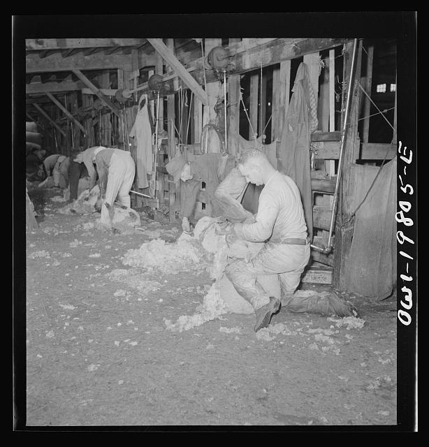 Emporia, Kansas. Shearing sheep at the stockyards