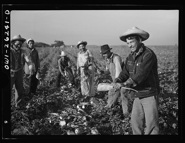 Stockton (vicinity), California. Mexican agricultural laborer topping sugar beets