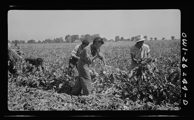 Stockton (vicinity), California. Mexican agricultural laborers harvesting sugar beets