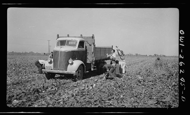 Stockton (vicinity), California. Mexican agricultural laborers throwing sugar beets into a truck