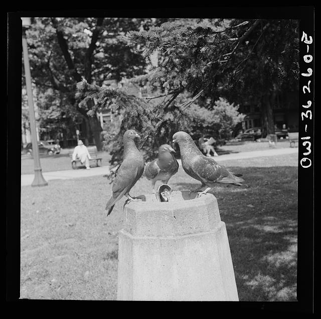 Washington, D.C. Pigeons at a drinking fountain in a park