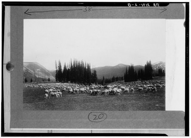 Sheep grazing on the Montezuma National Forest, Colorado