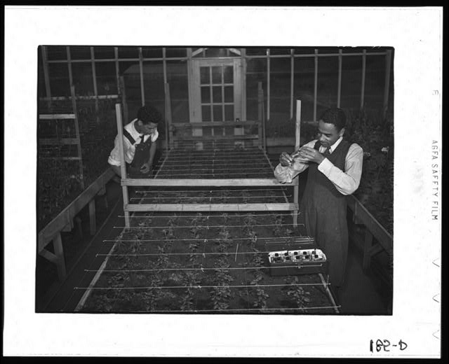 Tuskegee Institute, Alabama. Students in the greenhouse