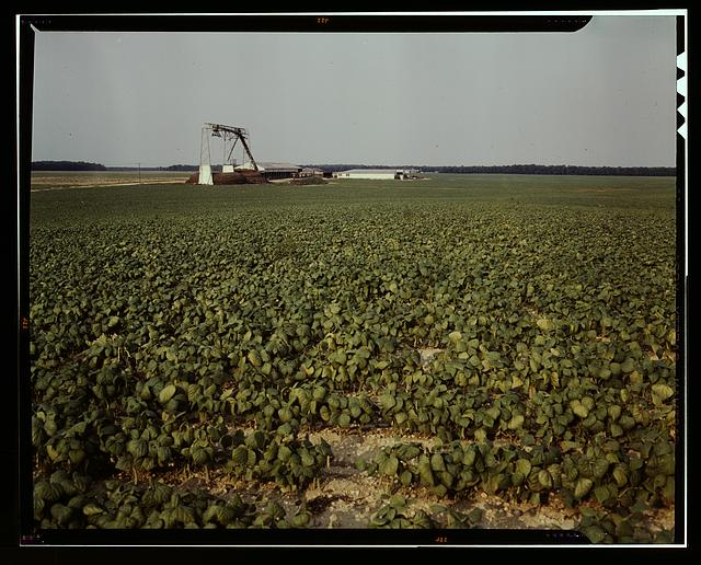 Bean field [and canning factory] Seabrook Farm, Bridgeton, N.J.