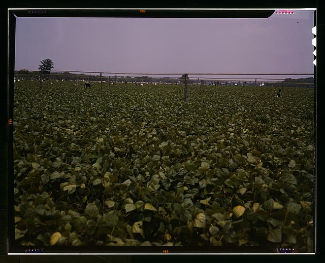 Day laborers (from nearby towns or migrant) picking string beans among the poles for overhead irrigation, Seabrook Farms, Bridgeton, N.J.