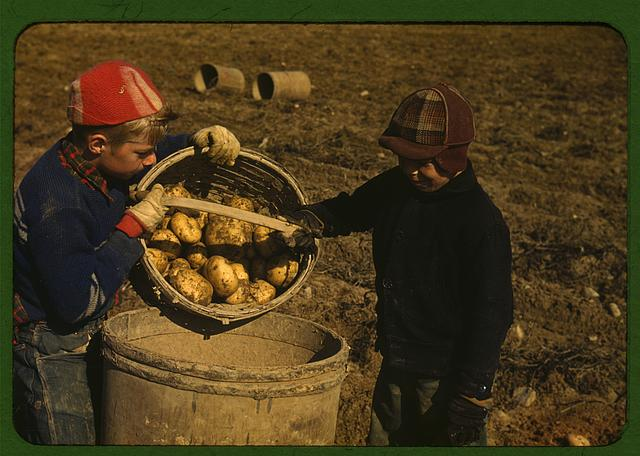 Children gathering potatoes on a large farm, vicinity of Caribou, Aroostook County, Me. Schools do not open until the potatoes are harvested