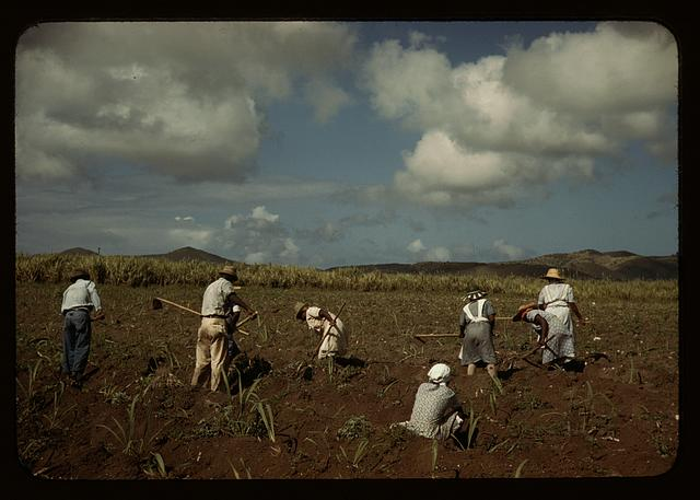 Cultivating sugar cane on the Virgin Islands Company land, vicinity of Bethlehem, Saint Croix