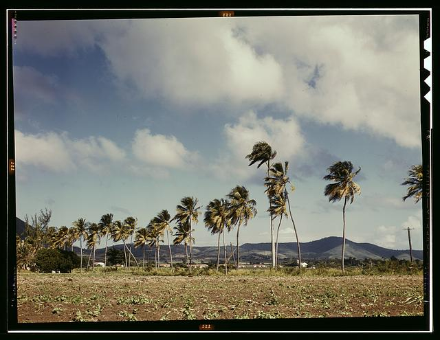 Palm trees along the road, vicinity of Christiansted, Saint Croix, Virgin Islands