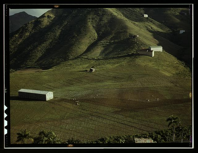 Cultivating tobacco at the [Puerto Rico Reconstruction Administration] experimental area, vicinity of Cayey, Puerto Rico