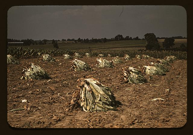 Burley tobacco is placed on sticks to wilt after cutting, before it is taken into the barn for drying and curing on the Russell Spears' farm, vicinity of Lexington, Ky.