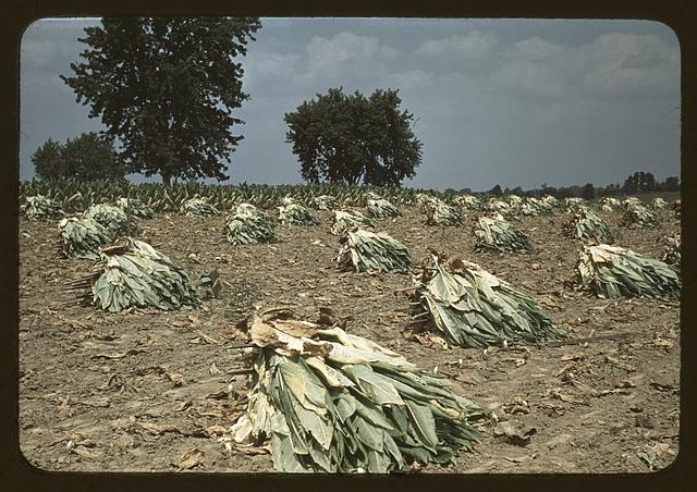 Burley tobacco is placed on sticks to wilt after cutting,before it is taken into the barn for drying and curing, on the Russell Spears' farm, vicinity of Lexington, Ky.