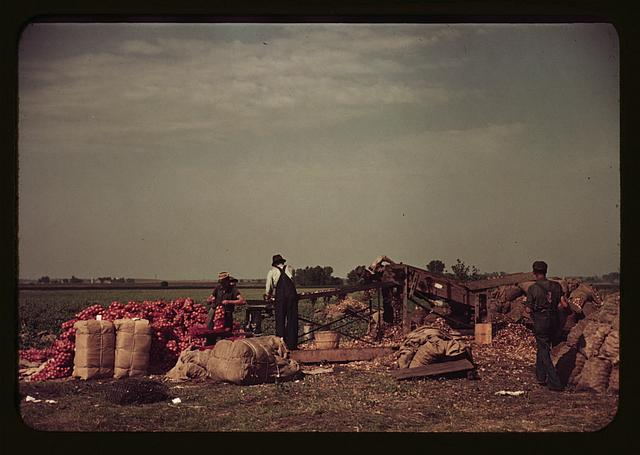 [Grading and packing onions, Rice County, Minnesota]