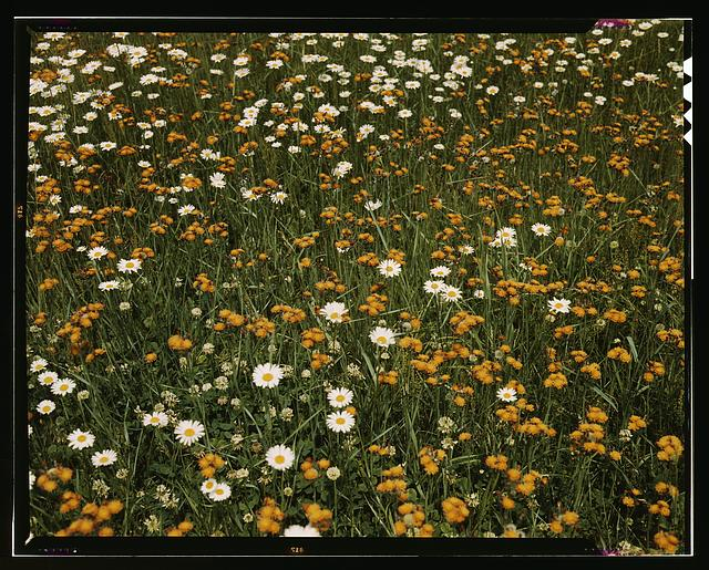 [Field of daisies and orange flowers, possibly hawkweed, Vermont]