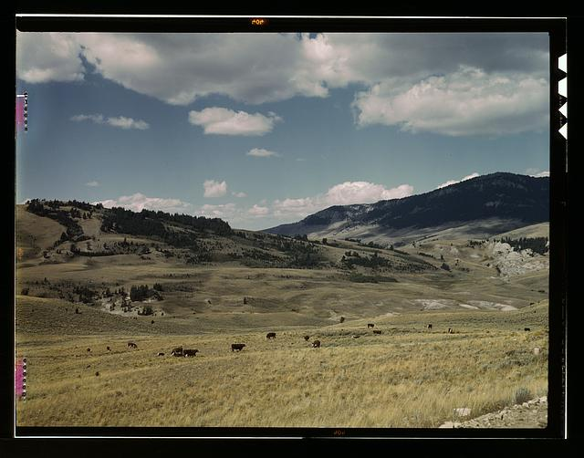 Bands of sheep [i.e. cattle] on the Gravelly Range at the foot of Black Butte, Madison County, Montana