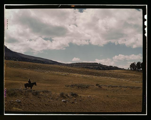 Herder with his flock of sheep on the Gravelly Range, Madison County, Montana