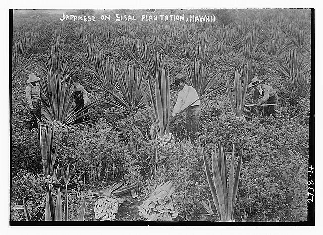 Japanese on Sisal Plantation, Hawaii