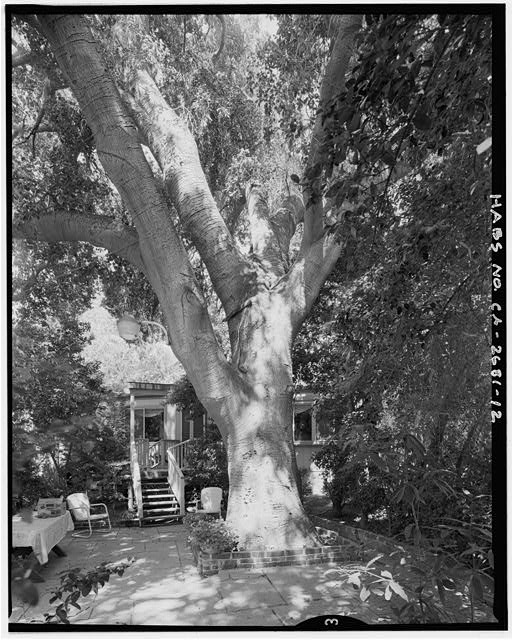 "View of oak tree from east.  Camera facing 262"" west. - Goerlitz House, 9893 Highland Avenue, Rancho Cucamonga, San Bernardino County, CA"