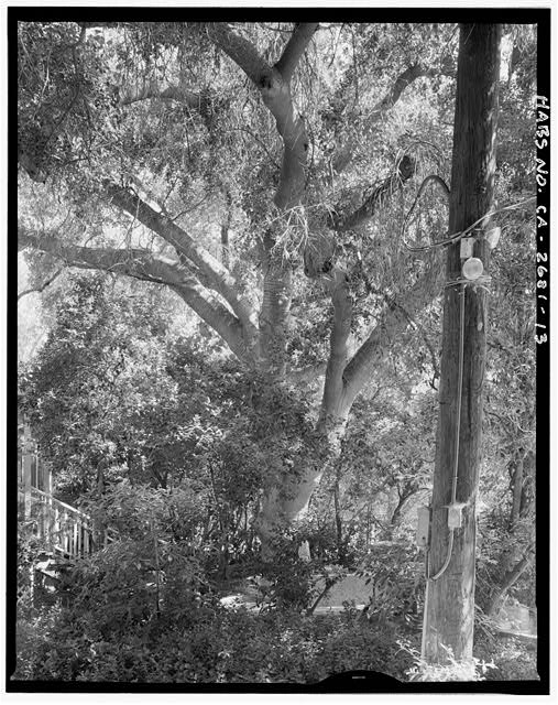 "View of oak tree from south.  Camera facing 6"" north. - Goerlitz House, 9893 Highland Avenue, Rancho Cucamonga, San Bernardino County, CA"