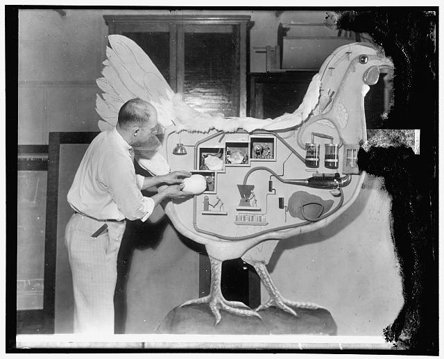The hen with the mechanical internal organs, who surprised visitors at the World's Poultry Congress in London by giving a brief lecture on how she utilized her food to make eggs. The exhibit was prepared by the United States Department of Agriculture Office of Exhibits. H. L. Shrader, poultry expert, is shown at work on the huge bird before it was shipped to London