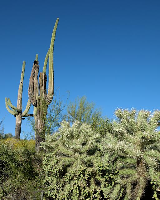 Saguaro Cactus near Tucson, Arizona