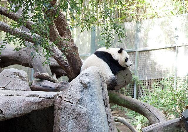 Sleeping panda in the zoo, San Diego, California