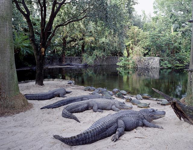 Alligators at Busch Gardens in Tampa Bay, Florida