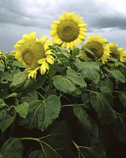 Sunflowers in Nebraska