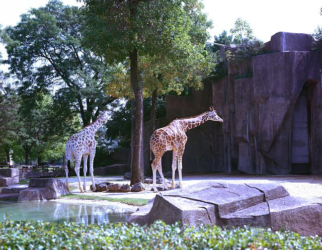 Giraffes at the Lincoln Park Zoo, Chicago, Illinois