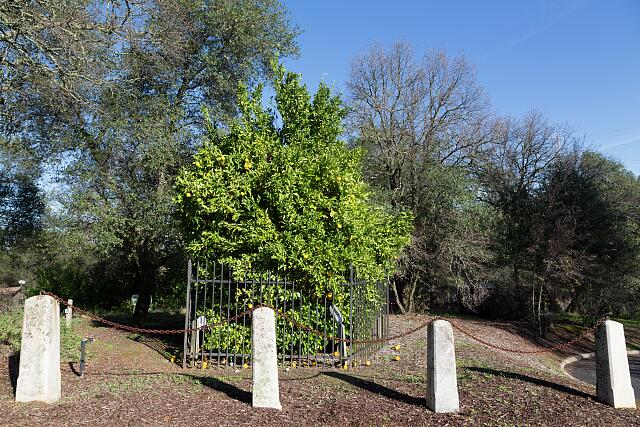 "The ""Mother Orange Tree,"" which as of early 2013 was the oldest-known living orange tree in Northern California"
