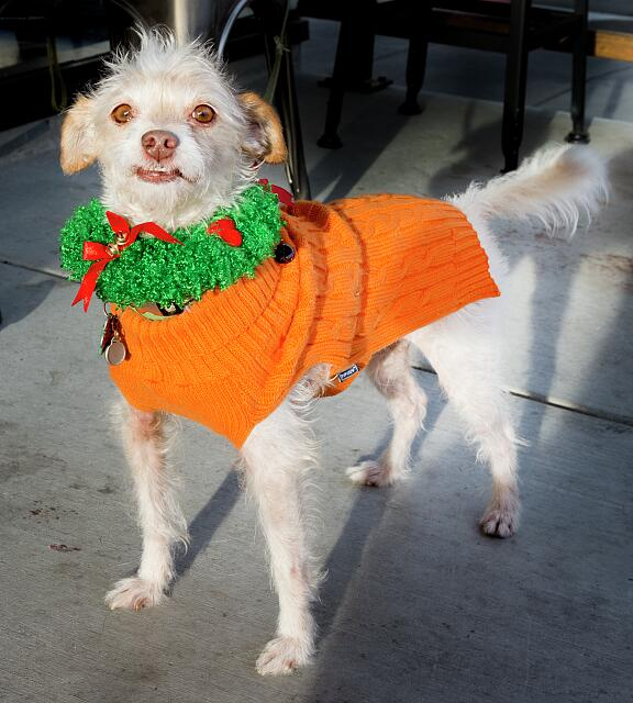 This little dog, observed outside a coffee shop in Napa, California, appears to be smiling at all the attention he's receiving for wearing his Christmas finery