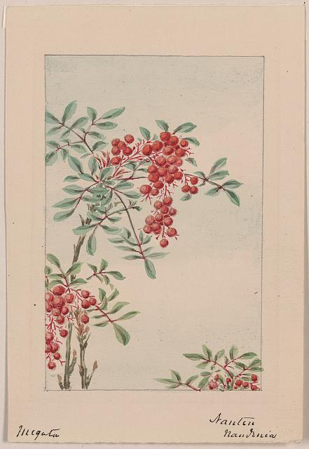 [Nandina bush with berries]