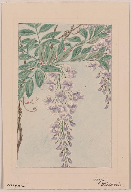 [Wisteria vine with leaves and blossoms]