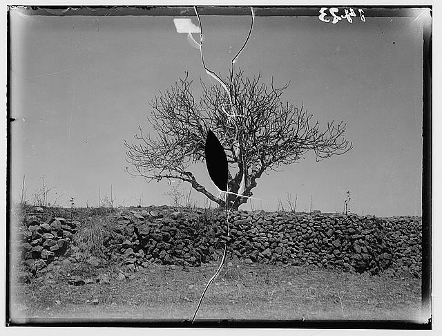 The terrible plague of locusts in Palestine, March-June 1915. The same tree after the visit of locusts