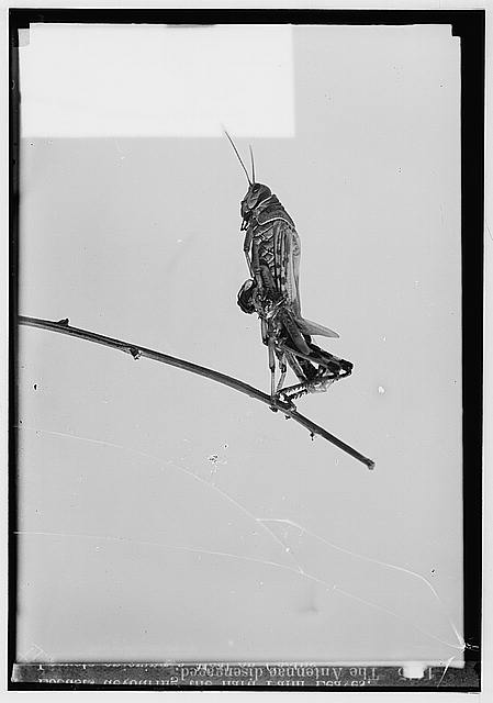 The terrible plague of locusts in Palestine, March-June 1915. The antennae disengaged